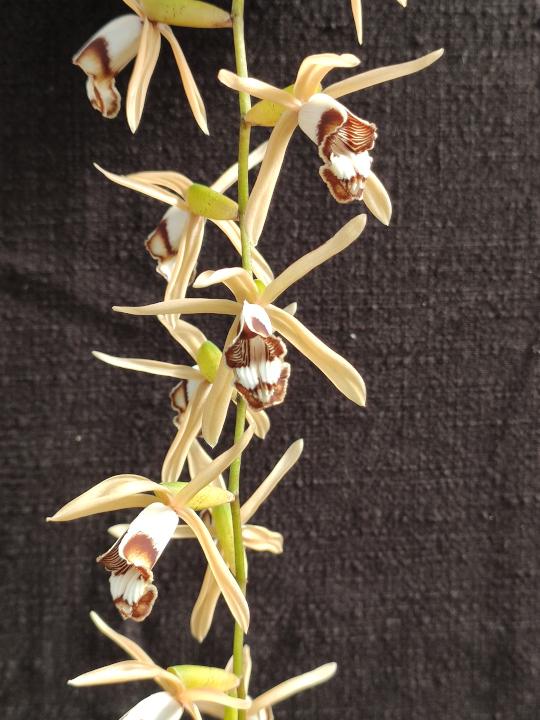 Coelogyne dayana orchidée botanique