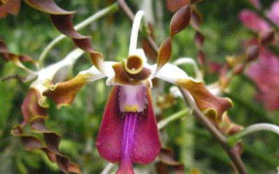 Dendrobium lasianthera