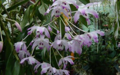 Dendrobium linawianum
