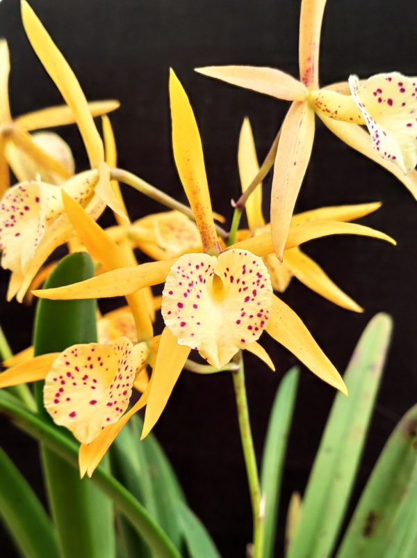 Brassocattleya Yellow Bird
