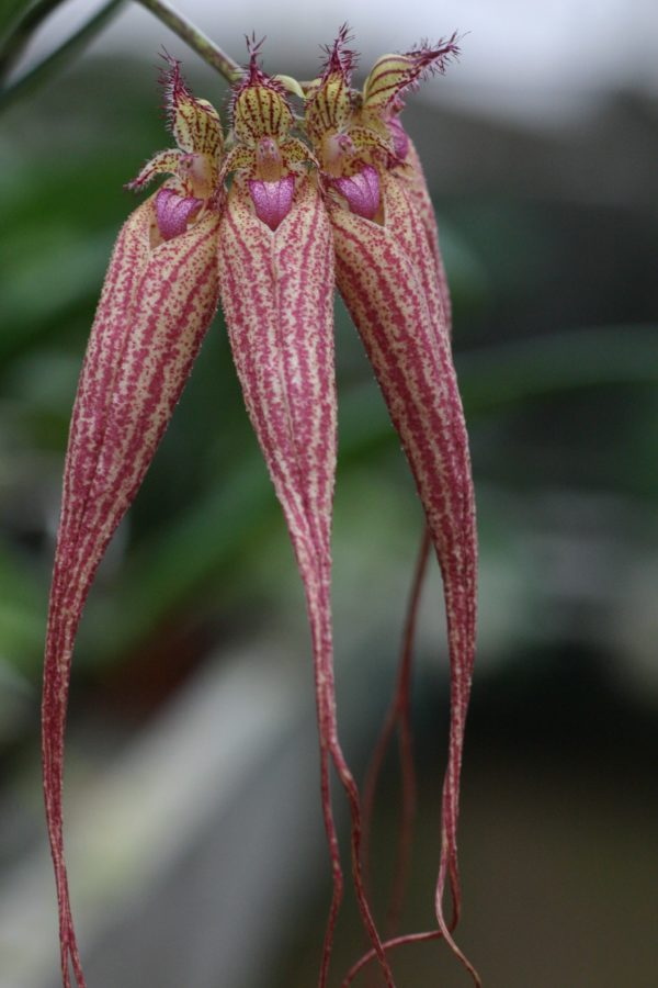 Bulbophyllum Elysabeth Ann Buckleberry
