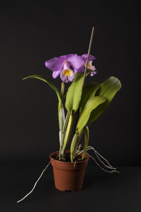 Cattleya Beaumesnil 'Parme'