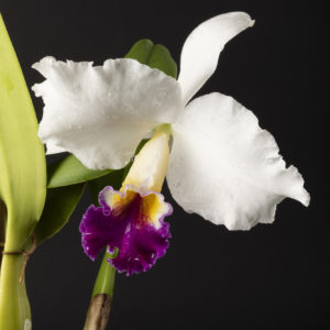 Cattleya Cynthia Model