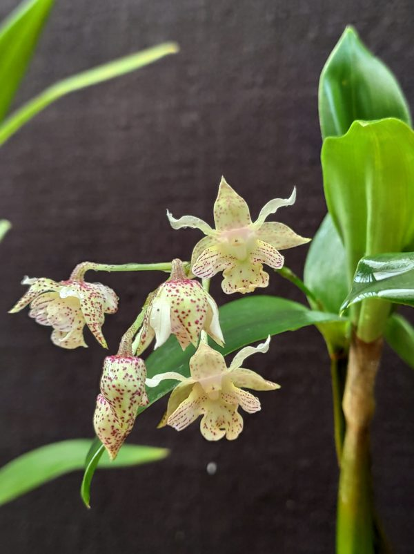 Dendrobium Lutin blanc
