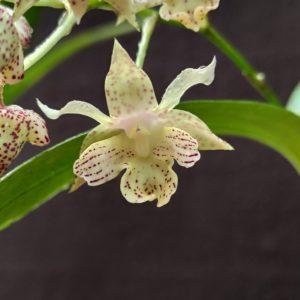 Détails du fichier joint Dendrobium Lutin blanc