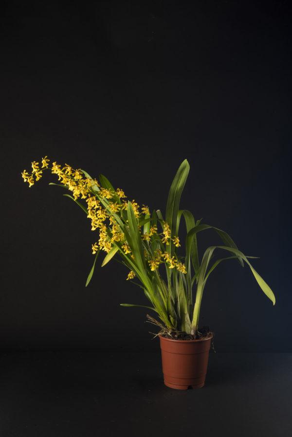 Oncidium Fragancia