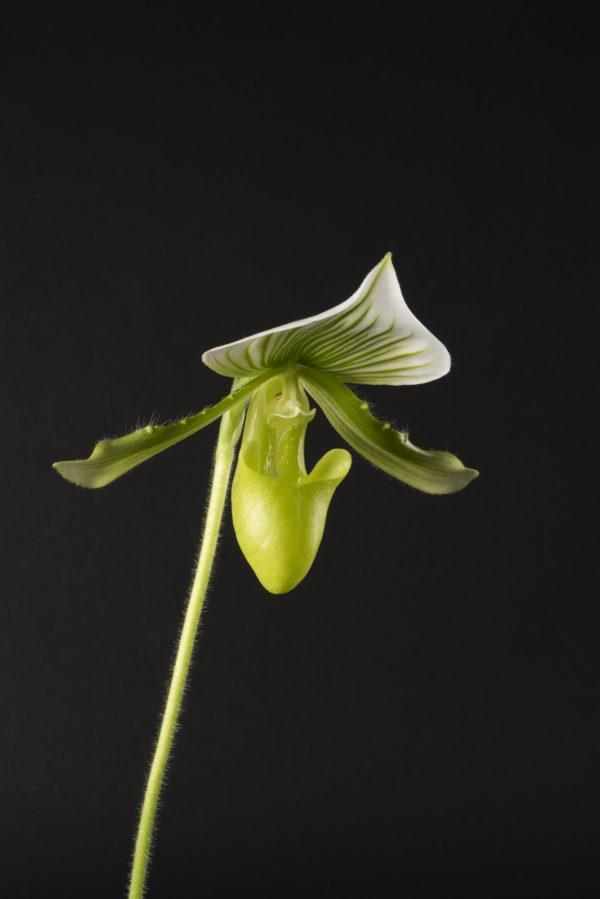 Paphiopedilum Maudiae 'Femma'