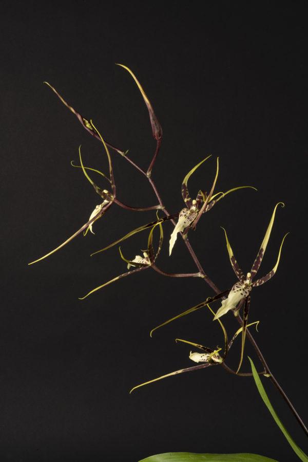 Brassia Toscane