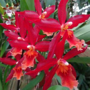 odontoglossum chayenne