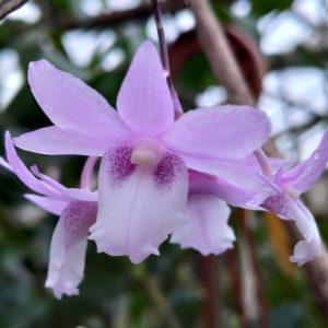 Dendrobium intricatum