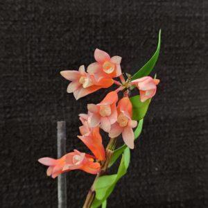 Dendrobium lawesii
