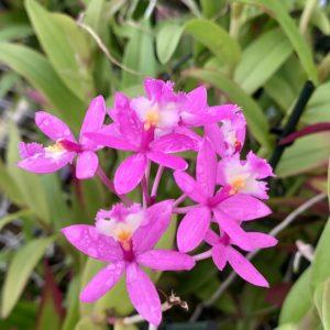 Epidendrum purple