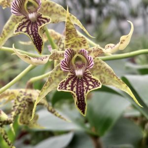 Dendrobium alexandrae X polysema
